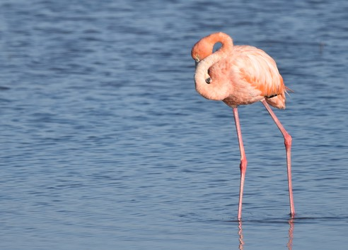 A flamingo hiding its head
